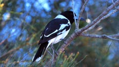 Pied Butcherbird sequence 1/3, perched, jumps to ground