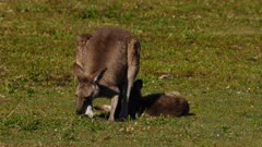 Eastern Grey Kangaroo sequence 1/7, mother feeds and shades joy