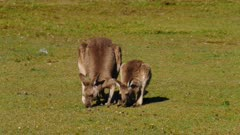 Eastern Grey Kangaroo sequence 3/7, mother and joy grazing