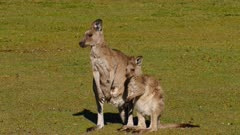 Eastern Grey Kangaroo sequence 6/7, mother and joy alert, returns to suckling