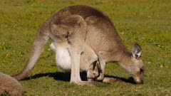 Eastern Grey Kangaroo sequence 2/3,   joy in pouch, both grazing, mother licks joy and expels it from pouch