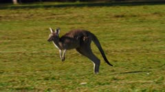 Eastern Grey Kangaroo hopping, slowmo, close