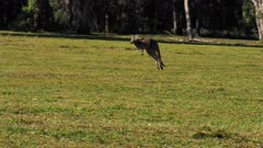 Eastern Grey Kangaroo hopping, slowmo, wide