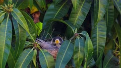 Noisy Miner breeding sequence 01, nesting eggs, wide