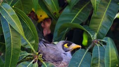 Noisy Miner breeding sequence 02, arrives to nest, arrange eggs and sits