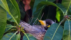 Noisy Miner breeding sequence 03, arrives to nest, arrange eggs and sits