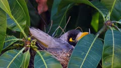 Noisy Miner breeding sequence 04, nesting eggs, close