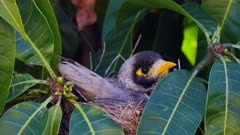 Noisy Miner breeding sequence 05, nesting eggs, flees, close