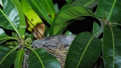 Noisy Miner breeding sequence 06, nesting eggs, night, sleeps, close