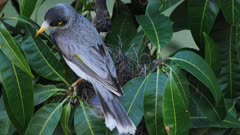 Noisy Miner breeding sequence 07, high angle, male arrives to the empty nest, inspects and leaves, close