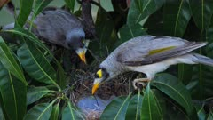 Noisy Miner breeding sequence 08, high angle, male arrives to the empty nest, then arrives the female, exchange calls, then male leaves and female sits in the nest, close