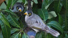 Noisy Miner breeding sequence 09, high angle, male and female arrive to the empty nest, male inspects the nest, exchange calls,both leave, close