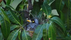 Noisy Miner breeding sequence 10, high angle, female nesting, wide