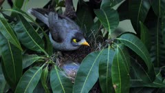 Noisy Miner breeding sequence 015, high angle, female arrives to the nest and sits, close