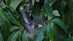 Noisy Miner breeding sequence 016, high angle, female alert and leaves the nest towards camera, close