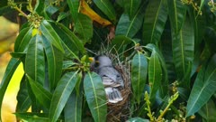 Noisy Miner breeding sequence 17, one chick born, female talks with male nearby