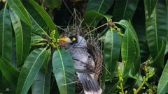 Noisy Miner breeding sequence 21,  female on nest on the alert about lorikeets nearby calling
