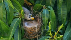 Noisy Miner breeding sequence 22, one day old chick, female arrives calling, feeds and sits