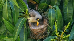 Noisy Miner breeding sequence 23, one day old chick, female arrives, feeds, arranges nest and sits