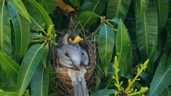 Noisy Miner breeding sequence 24, one day old chick, female sitting, gives call to male she is leaving and she flees