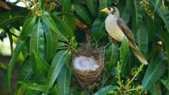 Noisy Miner breeding sequence 28, one day old chick, maleand female perched on a side