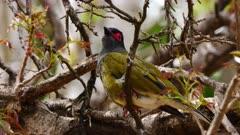 Australasian Figbird perched, calling, close