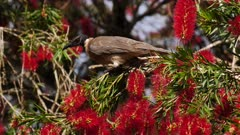 Noisy Friarbird feeding on bottlebrush flowers