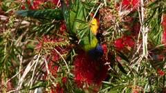 Rainbow Lorikeet feeding on bottlebrush flowers