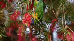Rainbow Lorikeet feeding on bottlebrush flowers
