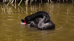 Black Swan preening in pond