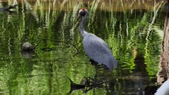 Brolga standing in pond, back reflections