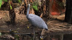 Brolga standing in pond, preening, another passes by