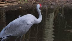 Brolga standing in pond, preening