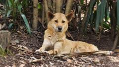 Dingo, resting