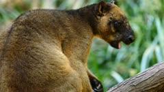 Kangaroo, Lumholtz's Tree-Kangaroo, feeding