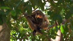 Kangaroo, Lumholtz's Tree-Kangaroo, resting on canopy
