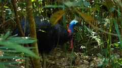 Southern Cassowary, disappears into the forest