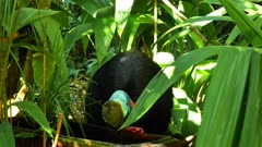 Southern Cassowary, drinks in a pot in a forest property