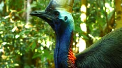 Southern Cassowary, in the forest, close up
