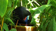 Southern Cassowary, picking up tadpoles in a pot in a forest property, close