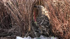 Great Bowerbird working on bower, close