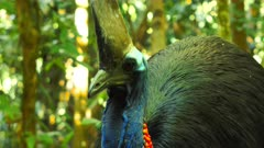 Southern Cassowary in a forest property, close-medium