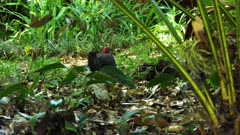 Australian brush Turkey continues scrubbing 3:4