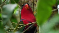 Black-capped Lory perched, close