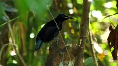 Victoria's Riflebird perched, backwards on a tree trunk, calls