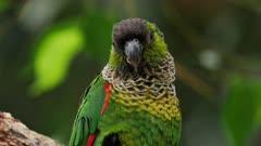 Green-cheeked Parakeet perched, close