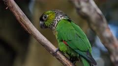 Green-cheeked Parakeet perched, side, medium
