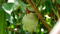 Rose-ringed Parakeet perched, close