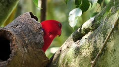 Eclectus Parrot,  female comes out of nest hole