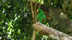 Eclectus Parrot perched, wide